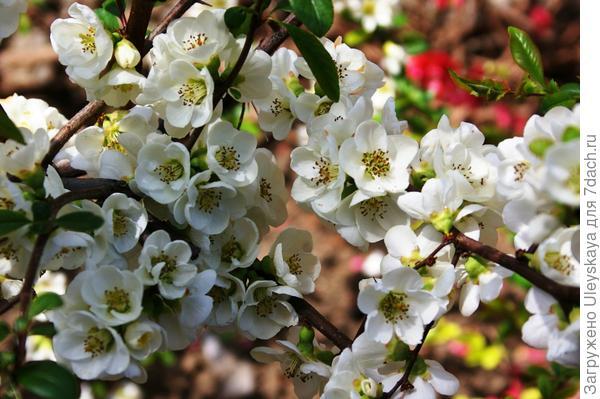 Хеномелес прекрасный в цветении, фото автора