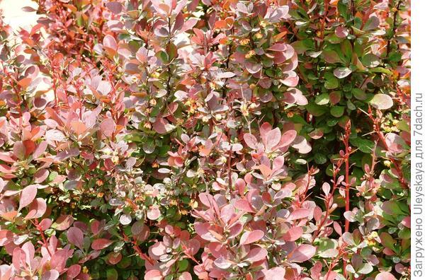Фрагмент барбарисового бордюра в цветении, фото автора