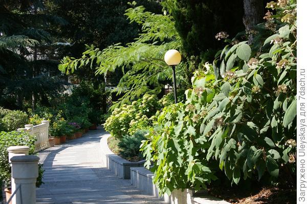 Комбинированная живая изгородь из различных гортензий, фрагмент, фото автора