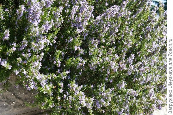 Розмарин лекарственный в цветении, фото автора