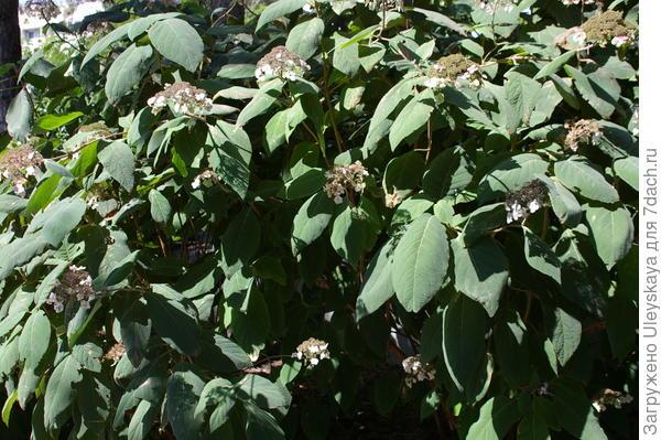 Живая изгородь из гортензии Саржента, фрагмент, фото автора