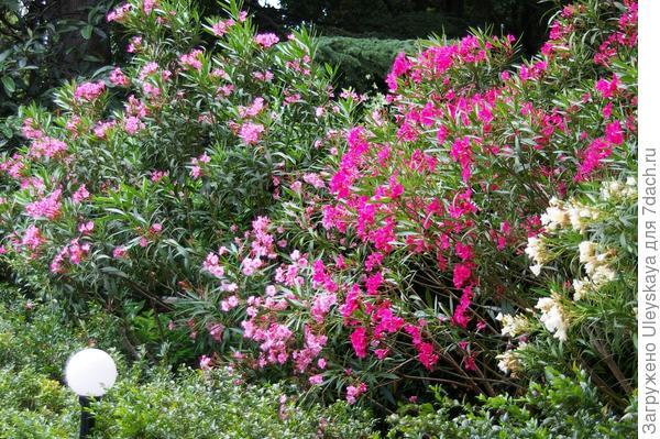 Разноцветная живая изгородь из олеандра обыкновенного, фото автора