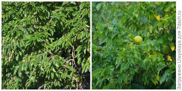 Маклюра яблоконосная, внешний вид побегов, фото автора. Ветви с плодами, фото автора