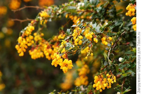 Барбарис Дарвина в цветении, фото автора