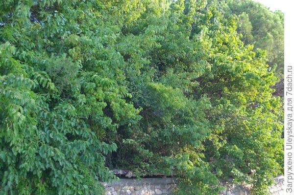 Живая изгородь из маклюры оранжевой, фото автора