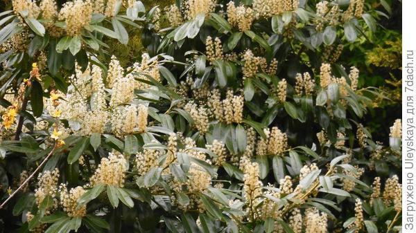 Цветет лавровишня лекарственная в мае, выступая ароматизатором пространства