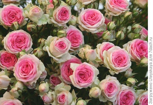Роза сорт Mimi Eden, фото с сайта розасад.рф