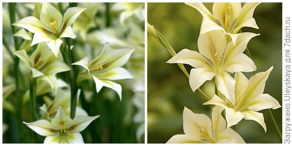 Гладиолус грустный, внешний вид и его цветки. Фото с сайта google.ru