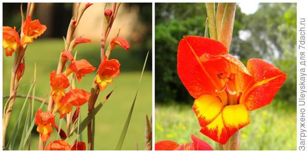Гладиолус Далении, внешний вид. Фото с сайта hadeco.co.za. Его цветки. Фото с сайта kumbulanursery.co.za