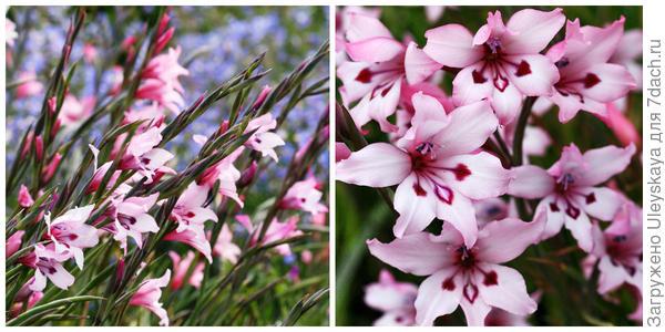 Гладиолус карминовый сорт Painted Lady, внешний вид и его цветки. Фото с сайта anniesannuals.com.