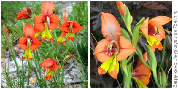 Гладиолус крылатый, внешний вид. Фото сайта livingfynbos.com. Его цветки крупным планом. Фото с сайта anniesannuals.com