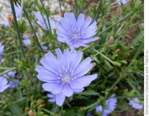 Цикорий обыкновенный. Фото с сайта prairierosesgarden.blogspot.com