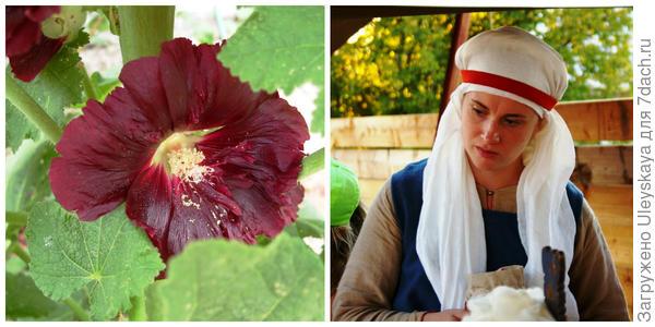 Мальва обыкновенная, фото автора. Третья красавица фестиваля, фото автора