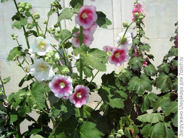 Кулиса из шток-розы у дома, фото автора