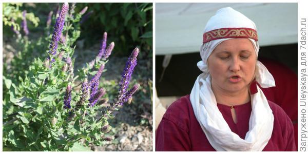 Шалфей лекарственный, фото автора. Седьмая красавица фестиваля, фото автора