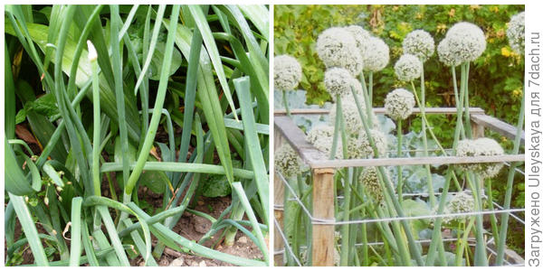 Лук репчатый, зеленое перо, фото автора. Лук в композиции. Фото с сайта lubludachy.mirtesen.ru