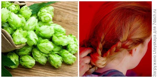 Сырье хмеля для волос. Фото с сайта underthesunseeds.com. Плетение кос на фестивале, фото автора