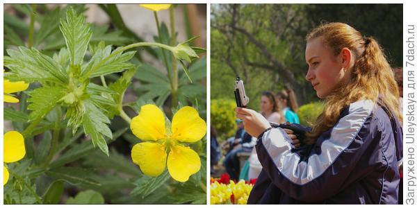 Лапчатка прямостоячая. Фото с сайта calphotos.berkeley.edu. На выставке тюльпанов, фото автора