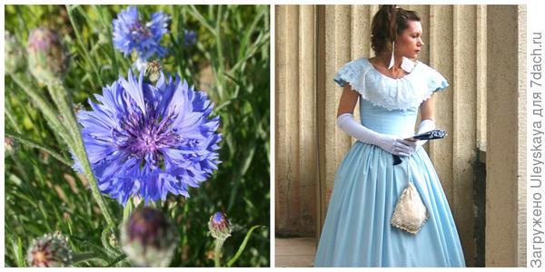 Василек синий, фото автора. Дама в голубом, фото автора