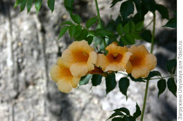 Его цветки крупным планом, фото автора