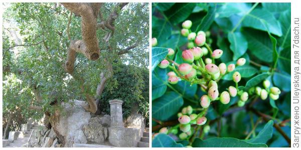 1000-летняя фисташка туполистная, Никитский ботанический сад. Плодоношение.