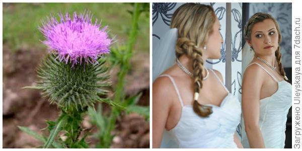 Бодяк обыкновенный. Фото с сайта swbiodiversity.org. Анастасия - невеста с русой косой, фото автора