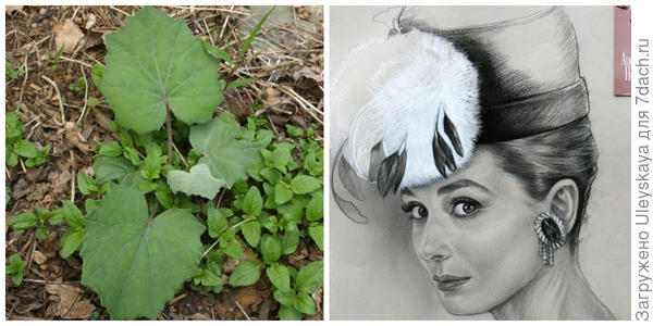 Мать-и-мачеха, листья. Фото с сайта robsplants.com. Красавица Одри Хепберн, рисунок моей родственницы, фото автора