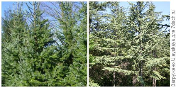 Ель сербская. Фото с сайта weihnachtsbaum-lange.de. Кедр ливанский, фото автора