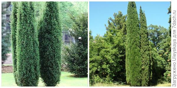 Можжевельник обыкновенный Hibernica. Фото с сайта gardenflorann.ru. Кипарис вечнозеленый Stricta, фото автора