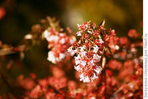 Абелия крупноцветковая, фото автора