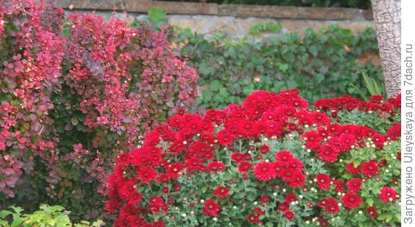 Краснолистный барбарис Тунберга Bagatelle осенью, фото автора