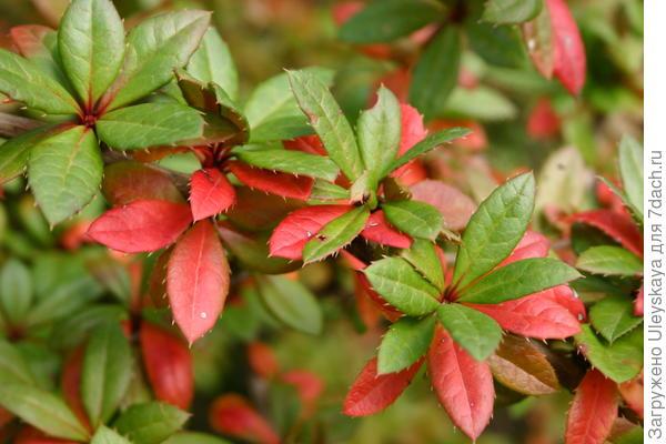 У вечнозеленого барбариса Гагнепена формы Chenaultii осенью краснеют старые листья, фото автора