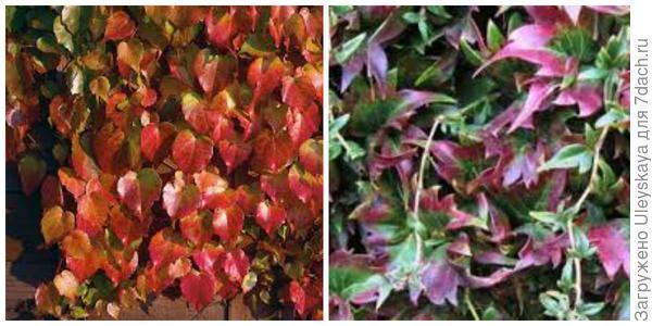 Девичий виноград триостренный Beverley Brook. Фото с сайта dobbies.com. Девичий виноград триостренный Lowii. Фото с сайта plandejardin-jardinbiologique.com