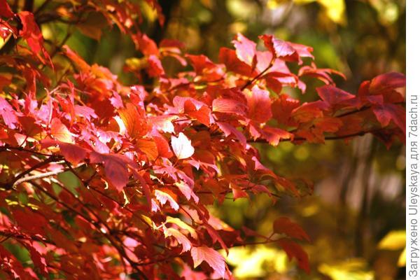 Калина обыкновенная осенью, фото автора