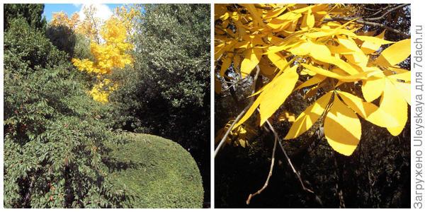 Осенью высвечивает уголки Никитского сада кария сердцевидная или гикори горький (Carya cordiformis), фото автора