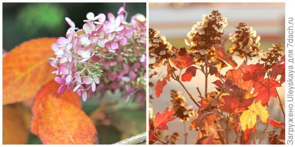 Гортензия метельчатая. Фото с сайта mingle2.com. Гортензия дуболистная. Фото с сайта plantinfo.co.za