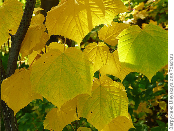 Клен зеленокорый Фото с сайта уфаботсад.рф