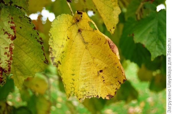 Лещина древовидная. Фото с сайта davisla.wordpress.com.