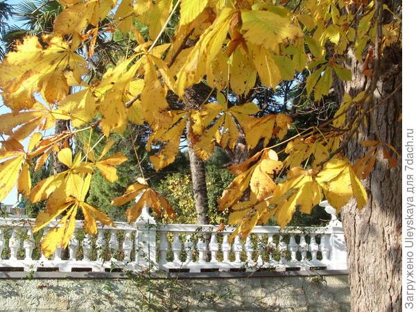 Конский каштан обыкновенный осенью, фото автора