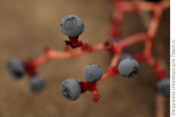 Девичий виноград триостренный, старое фото