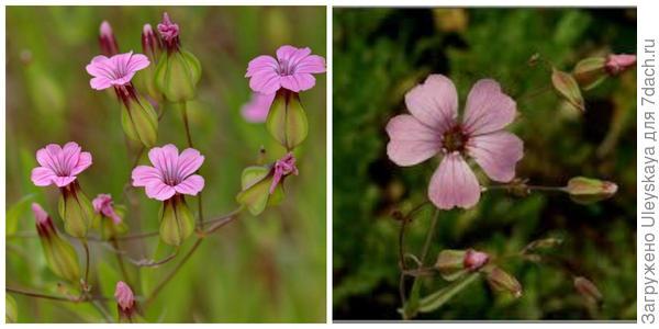 Ваккария испанская. Фото с сайта florasilvestre.es. Ваккария посевная Фото с сайта blog.163.com