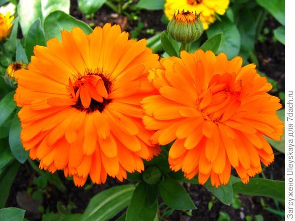 Календула-выручалочка для цветника, фото автора