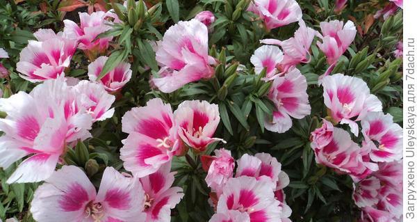 Годеция крупноцветковая. Фото с сайта about-garden.com