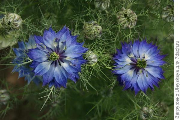 Нигелла дамасская. Фото с сайта chilternseeds.co.u