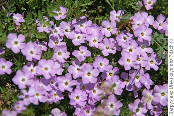 Линантус крупноцветковый. Фото с сайта naturesfinestseed.com