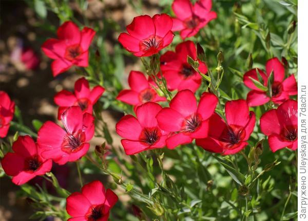 Лен крупноцветковый. Фото с сайта  centerofthewebb.ecrater.com.