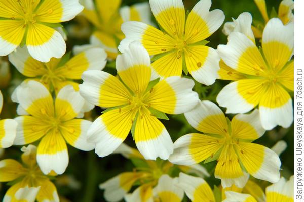 Лимнантес Дугласа. Фото с сайта gardenersworld.com