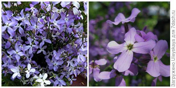Маттиола двурогая. Фото с сайта amazon.com. Её цветки крупным планом. Фото с сайта fineartamerica.com