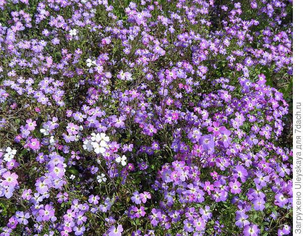 Малькольмия приморская. Фото с сайта flickr.com