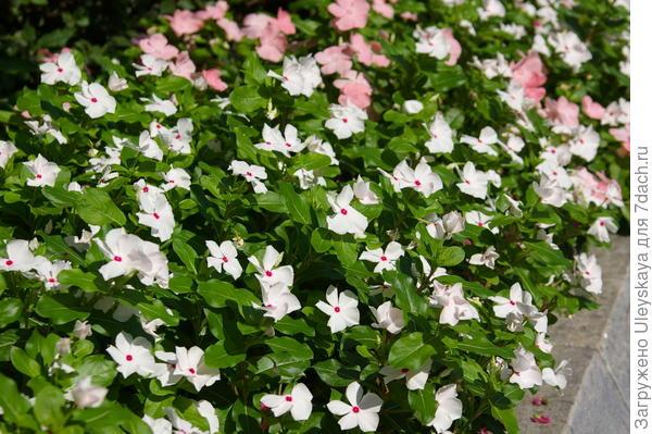Катарантусы летом в цветниках